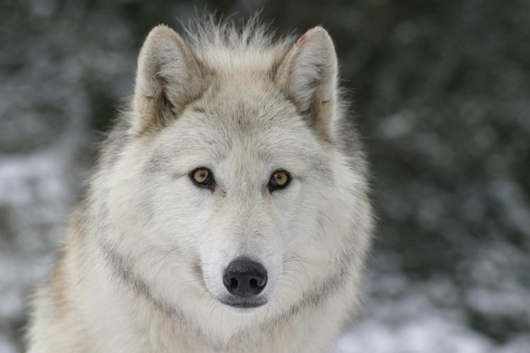 loup du canada au parc des loups du gevaudan