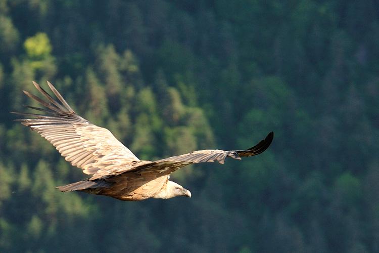 vautour gorges de la jonte